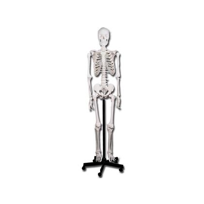 Πρόπλασμα Ανθρώπινου Σκελετού